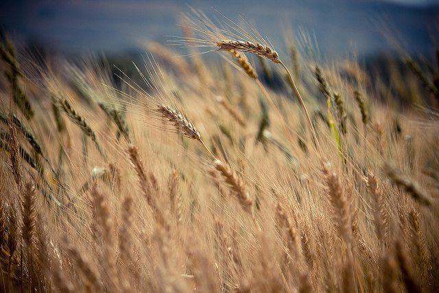 Come fare trading sul grano